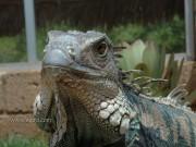 Рисунки от Koda - iguana_1.jpg