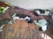 Вот наши 4 бандюг. У стены лежит Котя, справа от него его мать Муся она и окотилась , слева его отец Масик и рядом с ним пёстрая кошка Сима - 20120504_192902.jpg