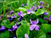 Фото-Мгновения - spring_flowers_by_murocean-d4wyp8f.jpg