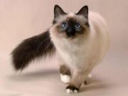 Домашние и не только животные - siam-cat.jpg