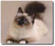 Домашние и не только животные - Бирманская-кошка.jpg